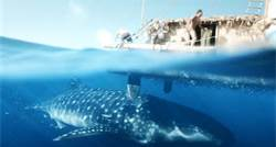 The visit of the whale shark