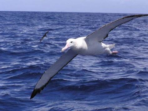 albatross-wandering1